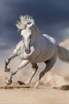 Andalusian horse in full gallop.An Andalusian horse in full gallop. Beautiful Arabian Horses, Most Beautiful Horses, Majestic Horse, Majestic Animals, Animals Beautiful, Beautiful Creatures, Horse Galloping, Andalusian Horse, Friesian Horse