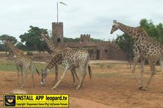 Home of Leopard.tv Wildlife Magazine, Shayamanzi wildlife ranch and wildlife music Blue Wildebeest, Wilderness, Giraffe, Cute Animals, Wildlife, Tv, Pretty Animals, Felt Giraffe, Cutest Animals