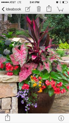 Container Gardening Shady Pots: main dark leaved plant with pink is Dracena 'baby doll', the pink and green speckled heart shaped leaf on the left is a Caladium, the reddish flowers are from the begonia 'angel wing', the purple trailing plant is Scaevola, Lawn And Garden, Garden Pots, Spring Garden, Porch Garden, Spring Summer, Summer Heat, Easy Garden, Summer 2014, Beautiful Gardens