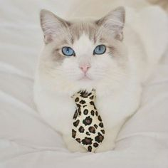 cat with necktie