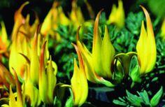 Lotus maculatus (lista roja)