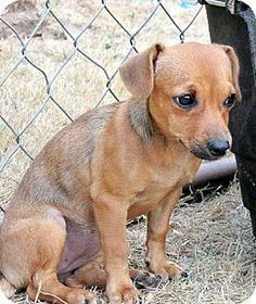 Pictures of Emma* a Dachshund Mix for adoption in Longview, WA who needs a loving home.