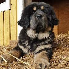 newfoundland dog poodle mix -