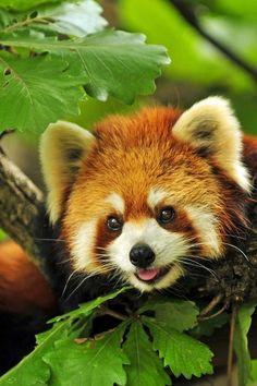 Red Panda (Ailurus fulgeus) Pandas are Endemic to the Himalayas in Bhutan, South China, Pakistan and India