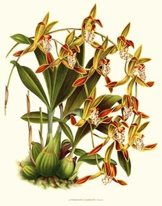 'Cymbidium tigrinum' giclee print via Charting Nature http://www.chartingnature.com/orchid-print.cfm/Cymbidium-tigrinum%20Orchid%20Art%20Print/6589