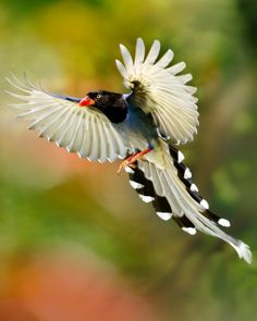 'Beautiful Moment ☆ Taiwan Blue Magpie ☆' by FuYi Chen
