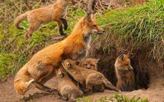 """Fox with Kits. Visit Facebook: """"Animals are Awesome"""". Animals, Wildlife, Pictures, Photography, Beautiful, Cute."""