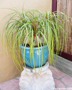 How To Care For and Repot A Ponytail Palm. My 3 headed Ponytail Palm in its old pot.
