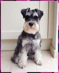 Miniature Schnauzer Black Schnauzer Cut, Schnauzer Grooming, Standard Schnauzer, Miniature Schnauzer Puppies, Giant Schnauzer, Dog Grooming, Schnauzer Breed, Schnauzers, Miniature Schnauzer Black