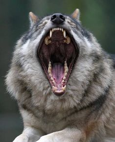 Huge yawn of the wolf. It gives the opportunity to see what a wolf's mouth looks like inside. After all, how often does this happen?