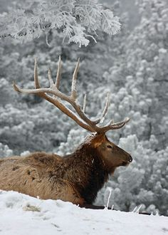 Elk Pictures, Mule Deer Hunting, Bull Elk, Big Game Hunting, Livestock, Reindeer, Moose, Wildlife, Tours