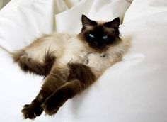 The Ragdoll cat breed name comes from the way cats of this breed have of collapsing in their owner's arms when they're picked up.  All floppy, just like a rag doll!