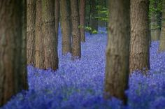 bluebells. and it's real.
