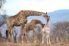 """Beautiful Giraffes (@giraffe_jirafas) on Instagram: """"Giraffe Family at Zimanga Private Game Reserve."""""""