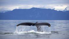 Alaska Frederick Sound Humpback Whale Megaptera Novaeangliae Tail Ultra HD Desktop Background Wallpaper for UHD TV : Widescreen & UltraWide Desktop & Laptop : Tablet : Smartphone Ocean Wallpaper, Animal Wallpaper, Network For Good, Excursion, Wale, Humpback Whale, Whale Watching, Photos, Pictures