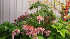 Pieris/ Lily-of-the-Valley bush/ Andromeda by The Plant Web | The Plant Web