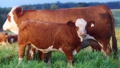 If you are considering having cattle on your homestead, see our selection of useful cow breeds that have different purposes, to make your perfect pick from. Cattle Farming, Livestock, Dexter Cattle, Breeds Of Cows, Miniature Cattle, Hereford Cattle, Raising Cattle, Mini Cows, Beef Cattle