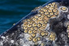 Grey Whales on Surface Stock Photos - Grey Whales on Surface Images Header, Gray Whale, Eye Painting, Studio Art, Marine Life, Wildlife Photography, Art Studios, Amazing Nature, Textures Patterns