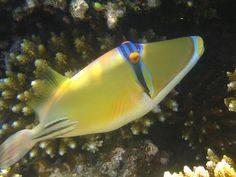Picasso Trigger Fish Red Sea by knowldav, via Flickr