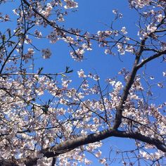 The cherry blossoms are in full bloom.