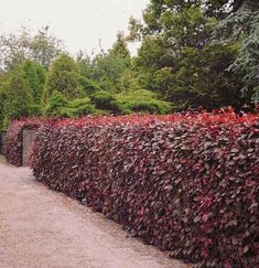 Fagus sylvatica 'Purpurea' pruned to make a statement hedge. This could be used within the patio space to link with the Prunus, Cotinus and purple plants. Privacy Landscaping, Garden Privacy, Garden Landscaping, Beech Hedge, Landscape Design, Garden Design, Tree Lined Driveway, Florida Plants, Garden Hedges