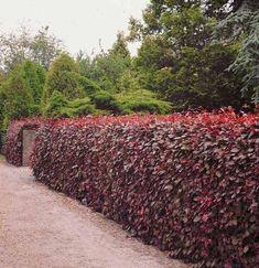 U bent op zoek naar een Fagus sylvatica 'Purpurea' of atropunicea (rode beuk)? Tuincentrum Maréchal! ✔ Eigen kwekerij ✔ LAGE prijzen ✔ Uitgebreide planteninformatie