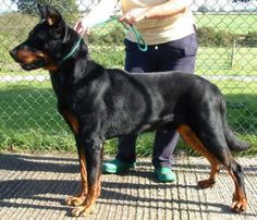 Beauceron, as long as I am able to exercise it enough...