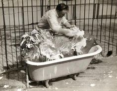 Just washing the lion