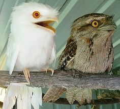 Albino tawny frogmouth. I swear, frogmouths are the most adorable birds ever. Podargidae
