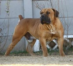 Used to own 3 of these. Bull Mastiff Dogs, Mastiff Breeds, Bullmastiff, Rottweilers, Dog Yard, Huge Dogs, Bully Dog, Large Dog Breeds, Cane Corso