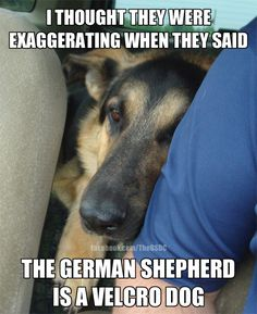 I thought they were exaggerating when they said the German Shepherd is a velcro dog.
