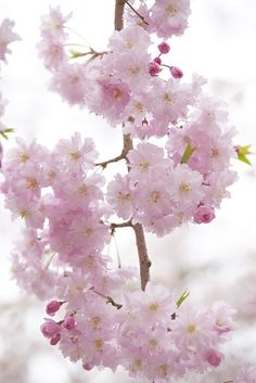 Pink of Weeping Cherry