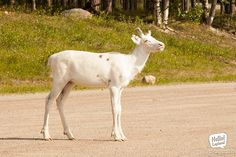 They say that a white reindeer brings luck! White Reindeer, Flora And Fauna, Finland, Wilderness, Tourism, Bring It On, Europe, The Incredibles, Horses