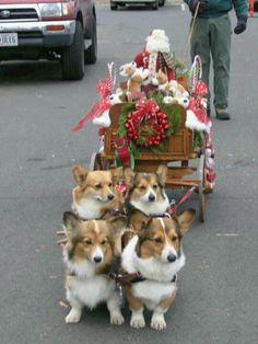 Corgy sleigh ride