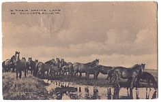 The wild ponies of Chincoteague and Assateague Islands 1910