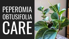 8 Peperomia Obtusifolia Care Tips and Tricks - YouTube