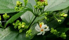 हरसिंगार (Nyctanthes Arbor-Tristis) परिचय आयुर्वेदिक उपयोग Health, Plants, Health Care, Plant, Planets, Salud