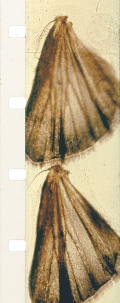 "richardashrowan: "" In 1963, the experimental filmmaker Stan Brakhage released Mothlight, made in part by pressing moth wings between two clear strips of film and then projecting this as a film print...."
