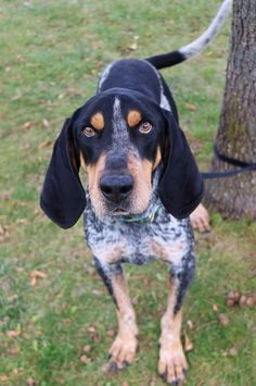 Meet Massimo, an adopted Bluetick Coonhound Dog, from Coulee Region Humane Society Inc. English Coonhound, Bluetick Coonhound, Yellow Lab Puppies, Golden Retriever, Large Dog Breeds, Hound Dog, Dog Boarding, Hunting Dogs, Working Dogs
