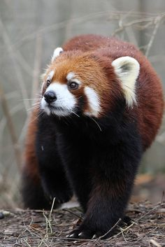Lovely red #panda                           #animals #jungleanimals