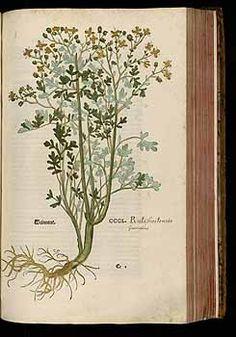184766 Ruta graveolens L. / Fuchs, L., New Kreüterbuch, t. 350 (1543)