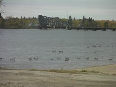 Geese...where the Rainy Lake flows into the Rainy River. Looking from Fort Frances Ontario to Ranier Minnesota.