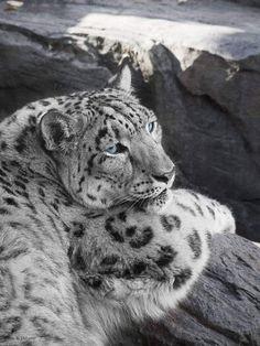 Safari Animals, Animals And Pets, Crazy Cats, Big Cats, Beautiful Cats, Animals Beautiful, Leopard Face Paint, Jaguar, Gato Grande