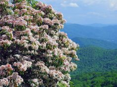 LOVE the mountain laurel along the Blue Ridge Parkway