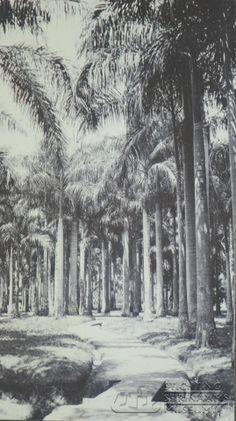 Laan in de Cultuurtuin Paramaribo  Datum: Locatie: Cultuurtuin, Paramaribo, Suriname Vervaardiger: Inv. Nr.: SSM-0519-67 Fotoarchief Stichting Surinaams Museum
