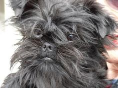 Find Affenpinscher Dog Breed Information, Images, Characteristics, Description, History,  Training, Temperament, Health, Care, Grooming, Feeding, Names etc.