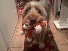 Thunder, the Italian Spinone. Look at that face!! He wants to share his toy from his New #BFF #Reggiebox :)