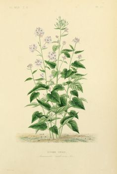 Perennial Honesty (Lunaria rediviva).Illustration taken from 'Flore Médicale Usuelle et Industrielle du  XIXe siècle' by Aristide Dupuis, O. Réveil, H. Baillon. Published 1870  by L. Guérin, T. Morgand. The LuEsther T Mertz Library, the New York Botanical Garden Biodiversity Heritage Library. archive.org