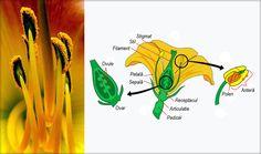 Pedicelul Pedicelul este codiţa prin care floarea se prinde de tulpină şi care o îndepărtează de aceasta. Receptaculul Receptaculul este o umflătură în formă de păhărel pe care stau piesele florale (învelişul floral şi organele de reproducere). Învelişul floral Învelişul floral ...
