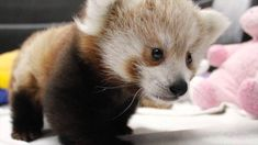 Adorable twin red panda babies happily play, sleep, eat and snuggle together at the Lincoln Children's Zoo in Lincoln, Nebraska. The twins, who were born on July 1, 2014, are being hand-raised by k...